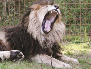 Zděchovský lev napadl cyklistu