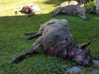 AKTUÁLNĚ: Medvěd zaútočil. Na Vsetíně roztrhal stádo ovcí